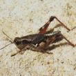 Wingless grasshopper adult