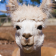 Head profile of a white alpaca