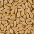 Pile of golden wheat grain