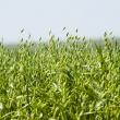 oat crop