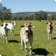 Brahman cattle backgrounding