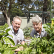 Kensington Secondary School Deputy Principal Eugene Maguire and Department of Agriculture and Food officer Don Telfer check over the school community vegetable garden for tomato potato psyllid.