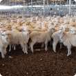 Sheep standing in saleyard