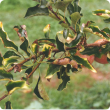 Magnesium deficiency symptoms on apple leaves