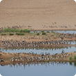 A group of magpie geese resting on the banks of the Ord River