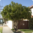 Mango trees growing in suburban Perth can bear well.