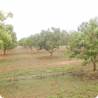 mango varieties growing on Gascoyne Research Facility