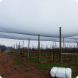 Bird netting covering rows of apple trees.