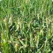 White heads that are either scattered or in patches in spring