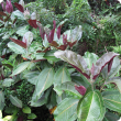 Miconia (Miconia calvescens) leaves