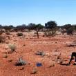 Photograph of mulga shrub hardpan pasture in good condition