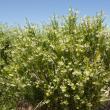 Narrow leaf cotton bush plant.