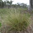 Serrated tussock (Nasella trichotoma) plant