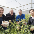 Four men in a glasshouse with lupin plants