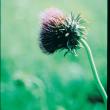 Nodding thistle flower