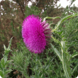 Nodding thistle flower head and a portion of the thistle leaf to the left of image