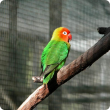 Image of a Nyasa lovebird.