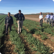Members of the Curtin Uni team in a chickpea crop in the Ord River Irrigation Area