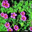 Purple flowers and green vegetation of a weed species Oxalis purpurea
