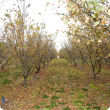 young truffle orchard in winter showing host trees with leaves mostly all fallen