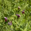 Field Peas in Flower