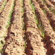 Wheat at Pindar, 11 days after seeding on 9th April