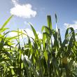 Green wheat crop growing in the Western Australian wheatbelt