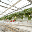 Hydroponic strawberry crop