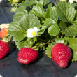 Strawberries ripe for harvesting