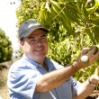 Peter Johnson in mango plantation at Kununurra