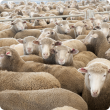 Katanning sheep sale yards