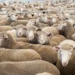 Katanning sheep sale yards
