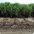 Furrow irrigating sugarcane
