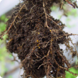 Potato Cyst Nematode (PCN) on potato roots.  Smalls golden or dark brown galls have formed on the roots, which are the cysts containing nematode eggs.