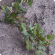 Darker coloured plants from induced phosphorus deficiency