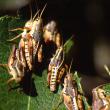 Wingless grasshopper adults