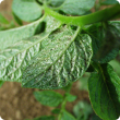 Palm thrips signs of feeding on a potato leaf