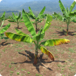 A young banana plant with yellowing leaves, a symptom of Panama disease.