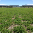 View of a panic grass paddock in January 2016 in Narrikup just north of Albany. The grass is a healthy green colour and the image has trees and the Porongurup range in the background against a blue sky.