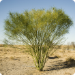 Parkinsonia is a large shrub or small tree.