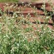 Parthenium weed flowers