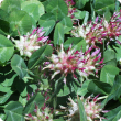 Bartolo flowers