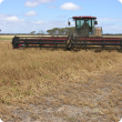Swathing field peas