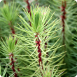 Pinus pinaster seedlings being grown for tree farming