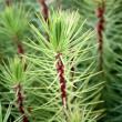 Pinus pinaster seedlings being grown for tree farming