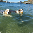Tow dogs swimming in river