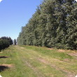 Mature poplar windbreak in Wokalup WA