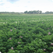 Potato crops in flower