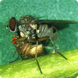 Natural enemies such as this predatory fly help control potato leafminer flies. Photo courtesy Dr A. Winotai