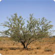 Prickly acacia tree
